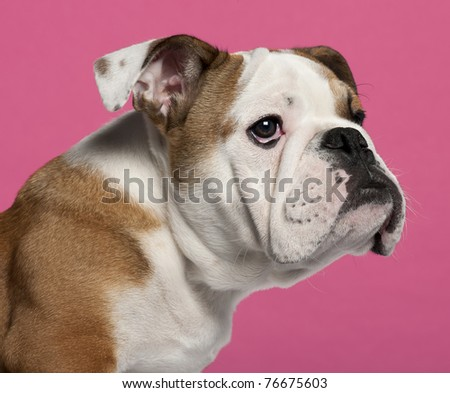 Close-up of English bulldog puppy, 4 months old, in front of hot pink background - stock photo