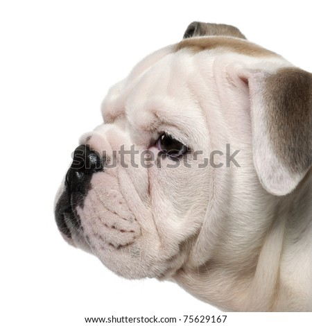 Close-up of English bulldog puppy, 2 months old, in front of white background - stock photo