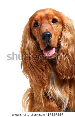 close-up of english cocker spaniel isolated over white background