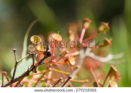 Close-up of eucalyptus flower in a nature - stock photo