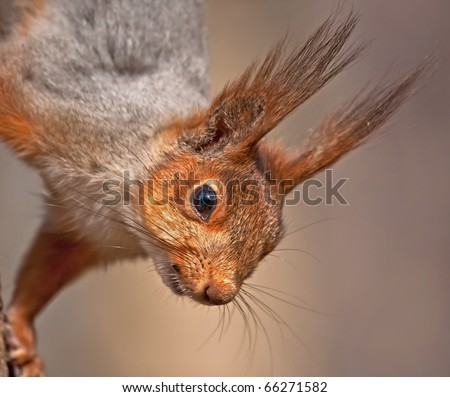 Close up of European red squirrel - stock photo