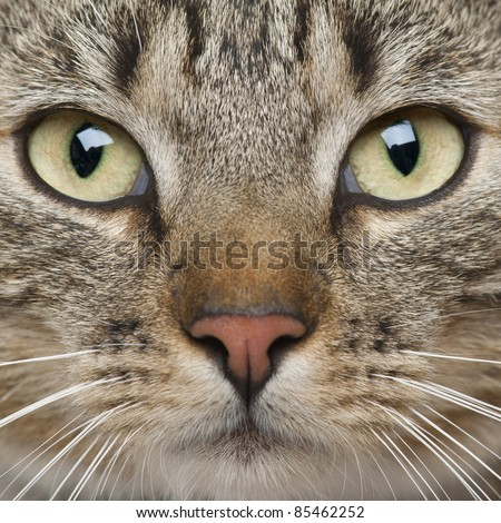 Close-up of European Shorthair cat, 9 months old - stock photo