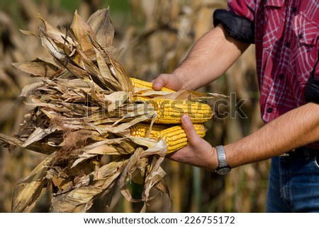 Close up of farmer's hands holding corn cobs in field - stock photo