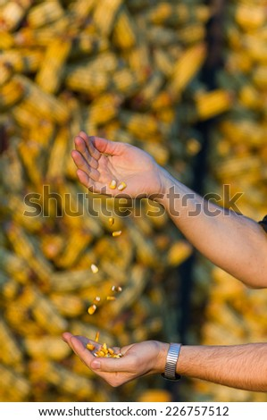 Close up of farmer's hands with corn grains - stock photo