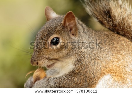 Close up of Fat Brown Squirrel eating a nut on Golden Summer Background