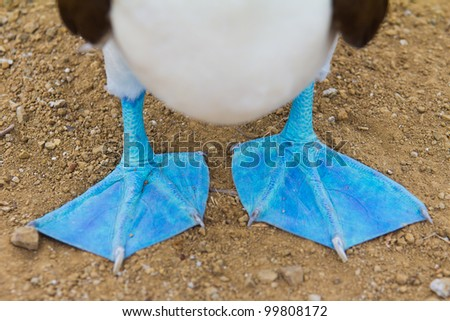 Close-up of feet of a blue-footed booby - stock photo