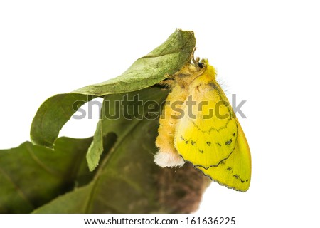 Close up of female roseapple caterpillar moth or small-tent moth (Trabala pallida walker  sc 1 st  Shutterstock & Close Female Roseapple Caterpillar Moth Smalltent Stock Photo ...