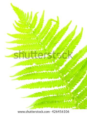 Close up of fern on white background isolated - stock photo