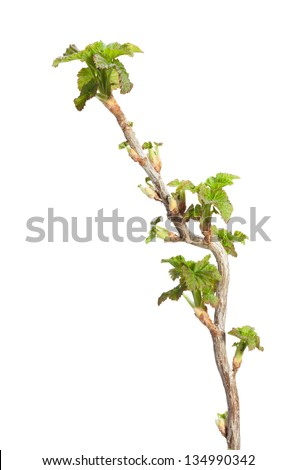 Close-up of first leaves on blackcurrant (Ribes nigrum) brunch isolated on white - stock photo