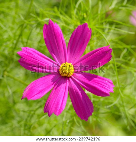Close-up of flower.( Cosmos sulphureus Cav.) - stock photo