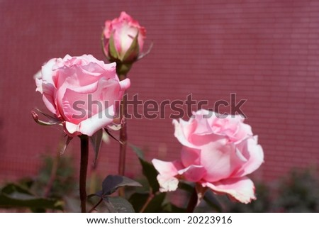 Close-up of flower -  rose