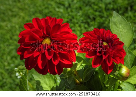 Close up of flowering red Dahlias in bright sunlight. - stock photo