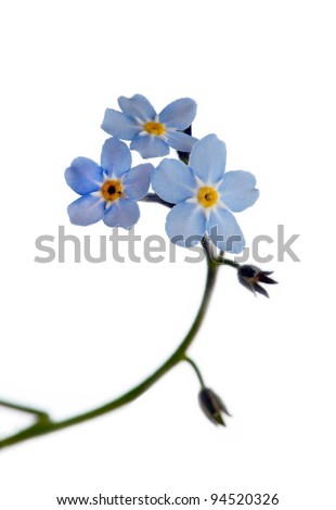 Close up of forget-me-not isolated on white - stock photo