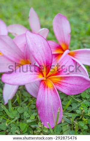 Close-up of Frangipani flower on the grass (Spa Concept) - stock photo