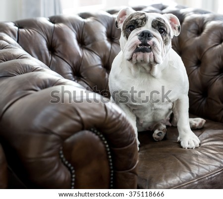 Close-up of French Bulldog - stock photo