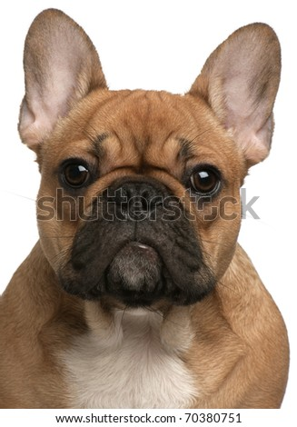 Close-up of French Bulldog puppy, 5 months old, in front of white background - stock photo