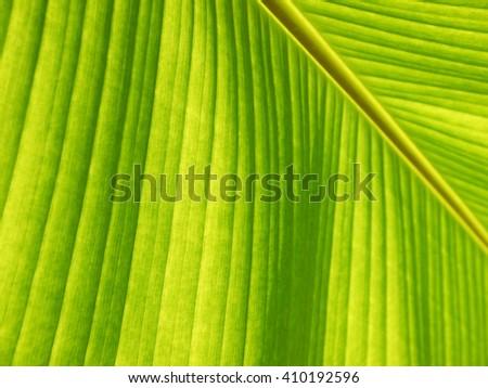 Close up of fresh banana leaf, banana leaf texture, for background - stock photo
