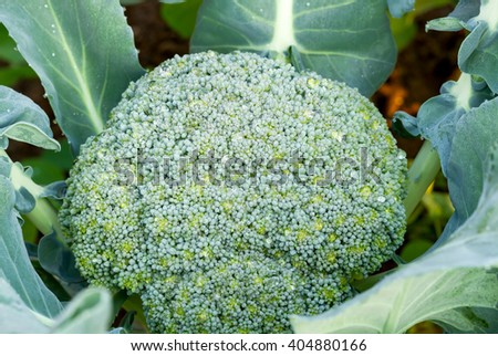 Close up of fresh broccoli growing in vegetable garden - stock photo