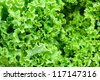 Close up of fresh frilled lettuce. - stock photo
