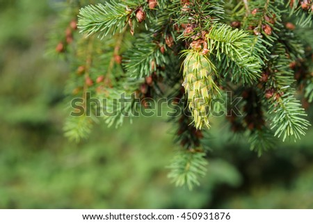 Close-up of fresh growth on an evergreen tree  - stock photo