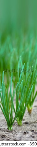 Close up of fresh healthy young onions in the ground with green sprouts.  - stock photo