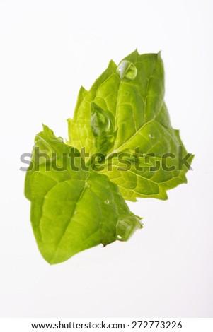 Close-up of fresh mint on white backgroud - stock photo