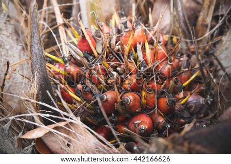 Close up of fresh oil palm fruits, selective focus - stock photo