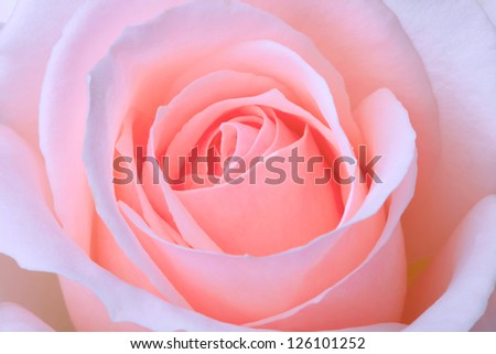 close-up of fresh pink rose