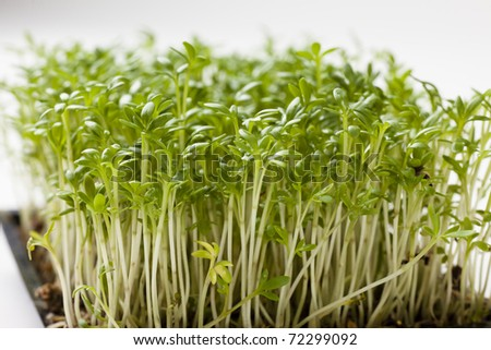 Close up of fresh plants of cress, shallow focus