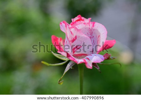 Close up of fresh red  pink rose in garden as a background - stock photo
