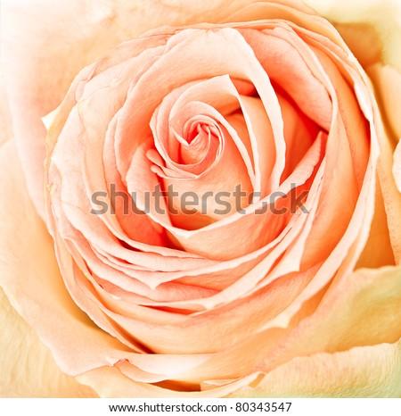 close-up of fresh rose - stock photo