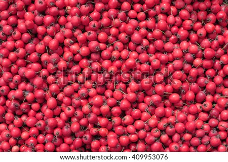 close-up of  freshly harvested ripe red hawthorn
