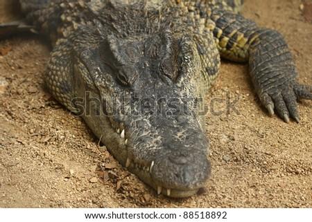Close up of freshwater crocodile - stock photo