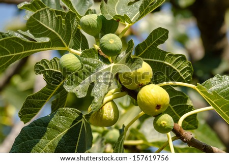 Close up of fruits of fig tree.