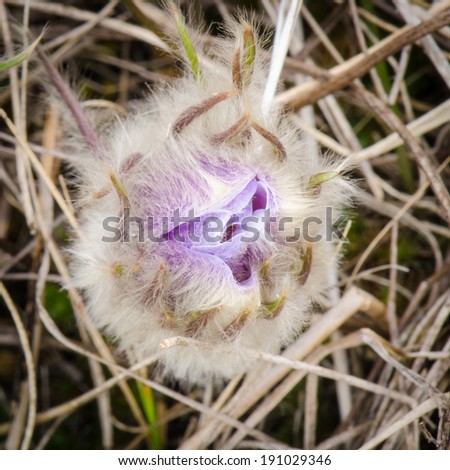 Close up of fuzzy crocus on the prairie - stock photo