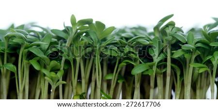 Close-up of garden cress - stock photo