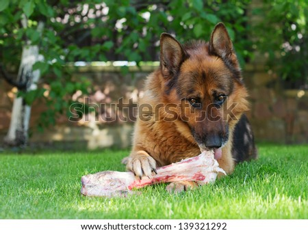 close up of German shepherd dog chewing on a bone in garden - stock photo