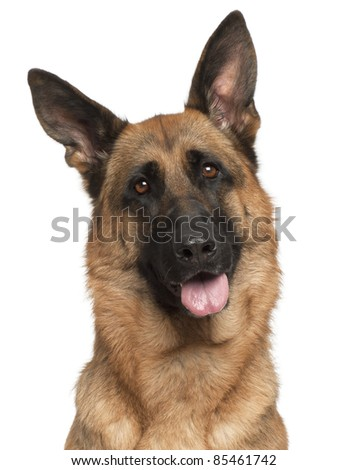 Close-up of German Shepherd Dog panting, 3 years old, in front of white background - stock photo