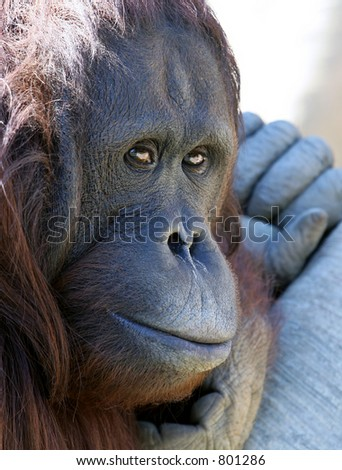 Close up of Gibbon ape or monkey chilling in the sun looking pensive and unhappy