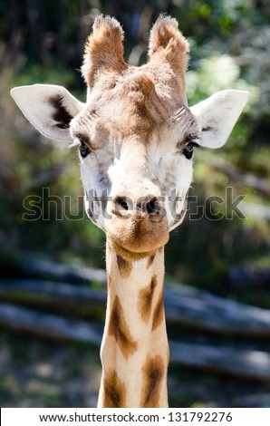Close up of Giraffe face. - stock photo