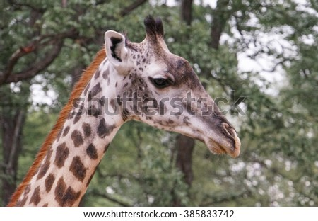 close up of giraffe head