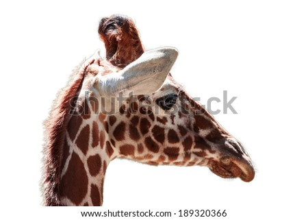 close up of giraffe isolated on white - stock photo