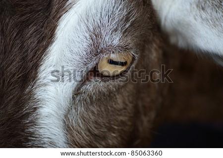 Close up of goat's eye - stock photo
