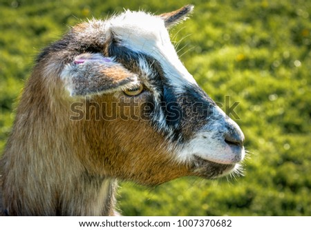 Close Up Of Goats Head In Profile