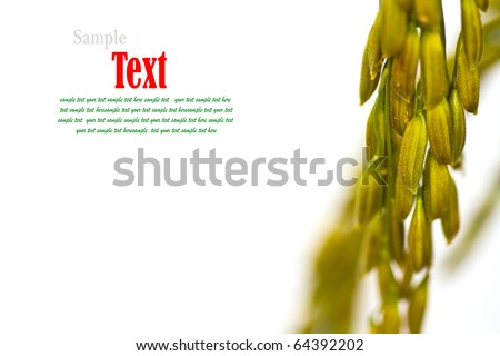 Close up of  gold paddy rice on white background - stock photo