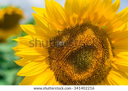 Close up of golden sunflowers with bee collecting pollen and nectar. Selective focus.