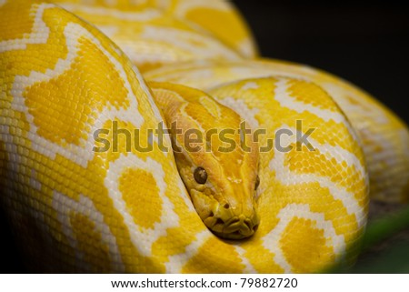 Close up of Golden Thai Python, focus at eyes - stock photo
