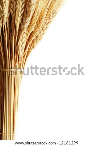 Close-up of golden wheat isolated on white - stock photo