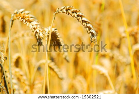 Close-up of golden wheat on wheat background