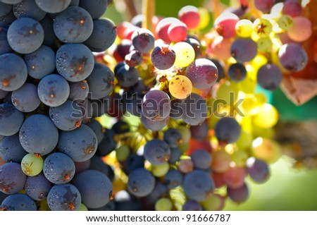 Close Up of Grapes on the Vine - stock photo